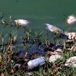 Dead fish in pond 640x360