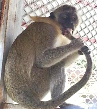 Monkey biting own tale out of distress at Iguana Farm