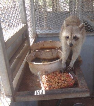 Raccoons living in unhealthy conditions at Iguana Farm